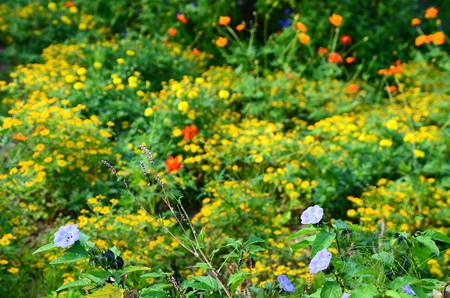 メランポディウムを背景に咲くアノダ