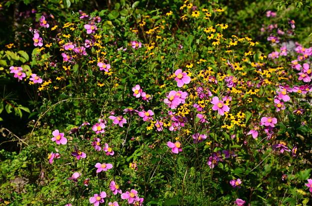 秋明菊とルドベキア