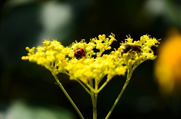 女郎花に天道虫(テントウムシ)