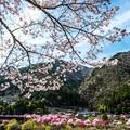 写真: 南信濃-2 桜吹雪