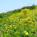 写真: 黄色い土手