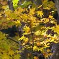 黄色いモミジ_5380