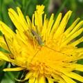 キリギリス幼虫_1883
