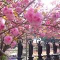 一心寺の牡丹桜_2174