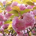 一心寺の牡丹桜_2181