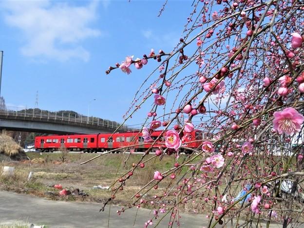 Photos: 枝垂れ梅&電車_3981