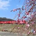 写真: 枝垂れ梅&電車_3981