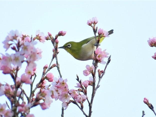 桜メジロ(庭)_4757