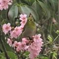 桜メジロ_4785