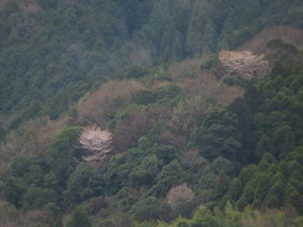 山桜_4918