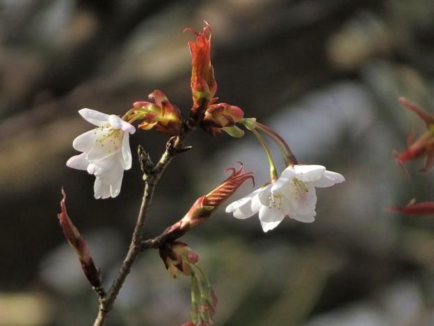 山桜開花_4926