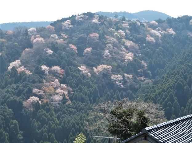 山桜_5299