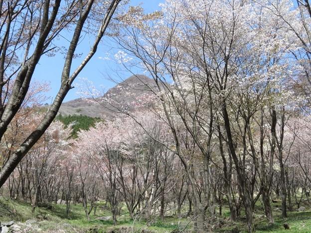 くじゅう山桜_6002