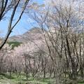 写真: くじゅう山桜_6002