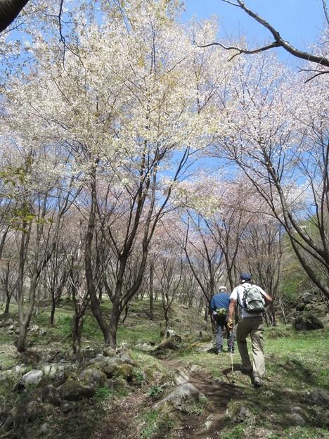 くじゅう山桜_6004