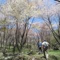 写真: くじゅう山桜_6004