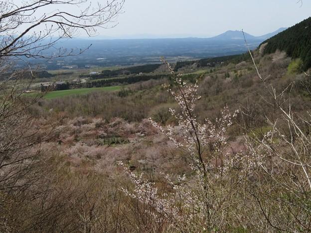 くじゅう山桜_6014