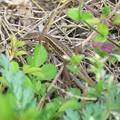 写真: ニホンカナヘビ_6041