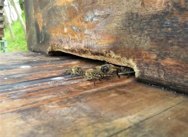 日本蜜蜂♂_6706