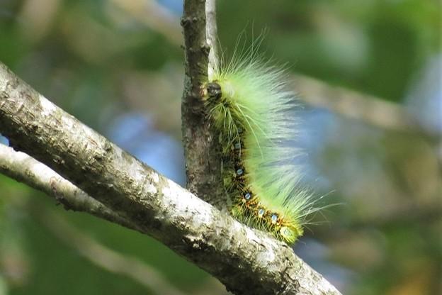 アメリカシロヒトリの幼虫(毛虫)_7788