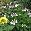写真: 紫陽花の真似咲きヒマワリ_8519