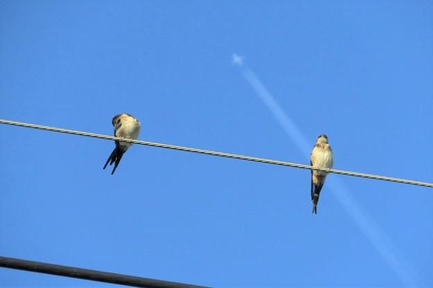 コシアカツバメ幼鳥_9455