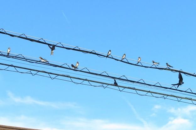 ツバメ幼鳥達_9825