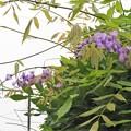 藤狂い咲き(庭)_0162