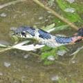 写真: 毒蛇ヤマカガシ_0389