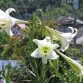 写真: タカサゴユリ_0993