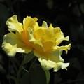 写真: 黄色い薔薇_0918