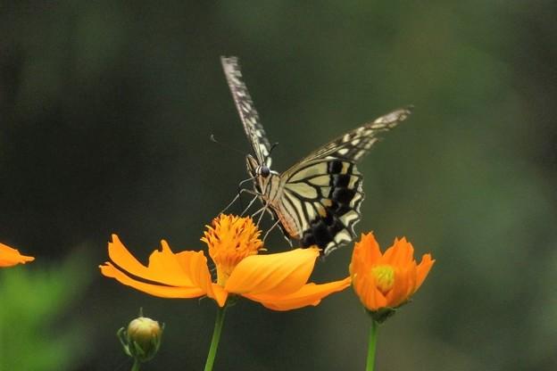 アゲハチョウ&キバナコスモス_1151