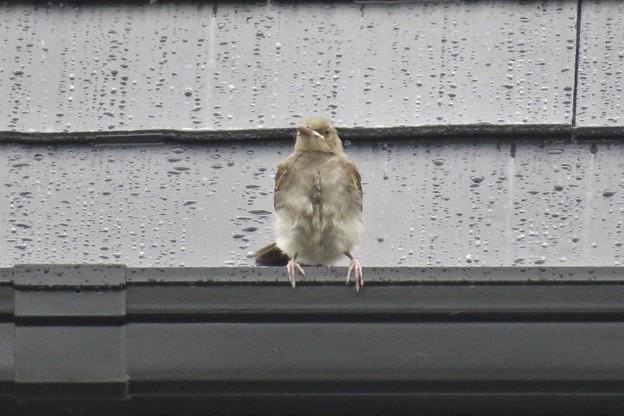 ヒヨドリ幼鳥_1483