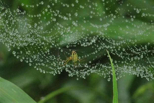蜘蛛の巣の雨雫(コシロカネグモ)_1503