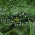 写真: 蜘蛛の巣の雨雫(コシロカネグモ)_1503