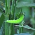 写真: クロコノマチョウ幼虫_1611
