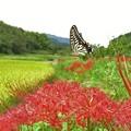 写真: 彼岸花&アゲハチョウ_2006