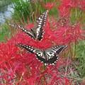 キアゲハとアゲハチョウの恋_2353