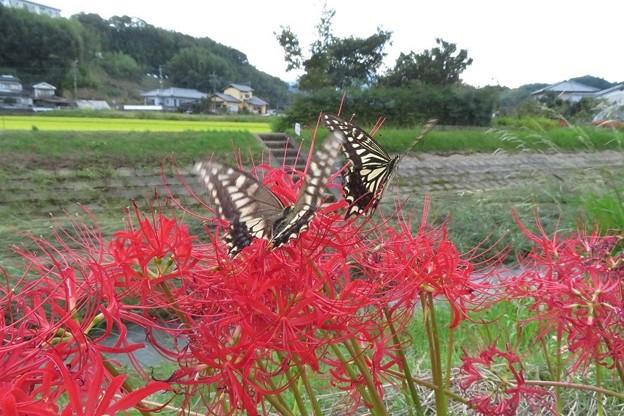 キアゲハとアゲハチョウの恋_2356