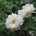 Photos: 白い薔薇(ボレロ?)_2535