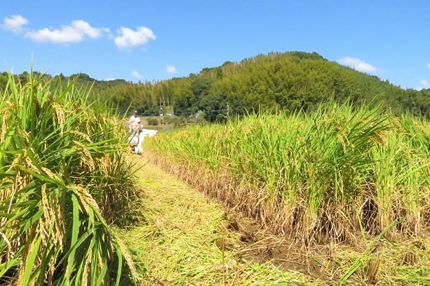写真: 稲刈り_2671