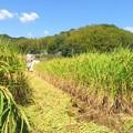 Photos: 稲刈り_2671
