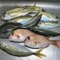 写真: 釣果(アジ9匹、小ダイ2匹、小グロ1匹)_2743