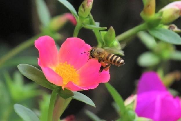 日本蜜蜂&ポーチュラカ_2736