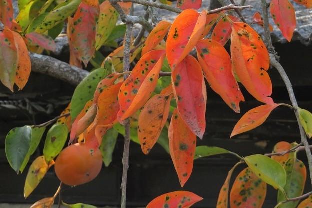 柿の葉紅葉_2805