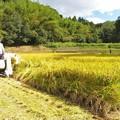 写真: 稲刈り_3037