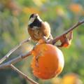 写真: 柿を食うヤマガラ_4057
