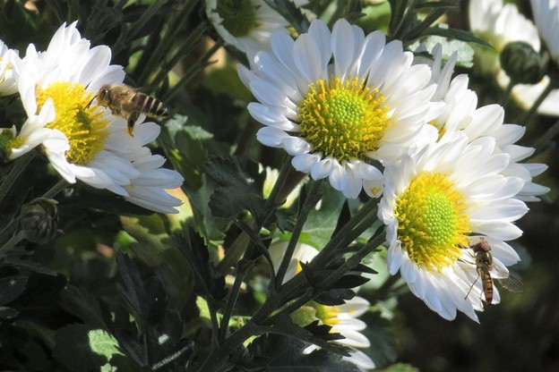 寒菊(蜜蜂&ハナアブ)_4637