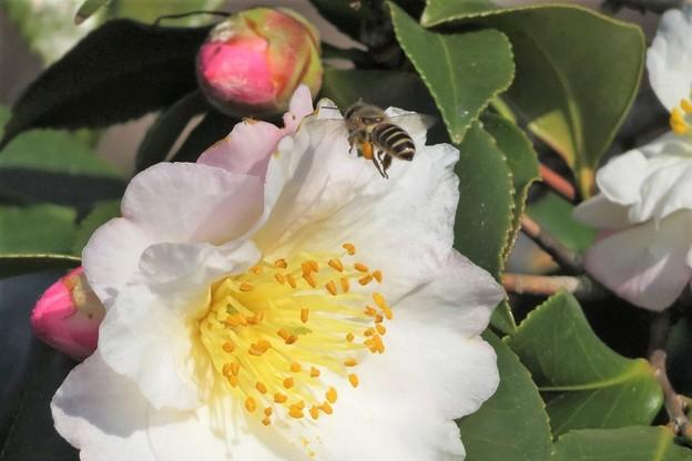 山茶花&蜜蜂_5971