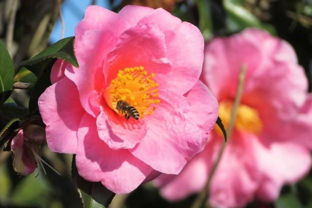椿&蜜蜂_5978